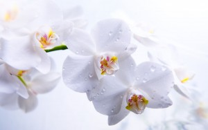White-Orchid-WideScreen-S